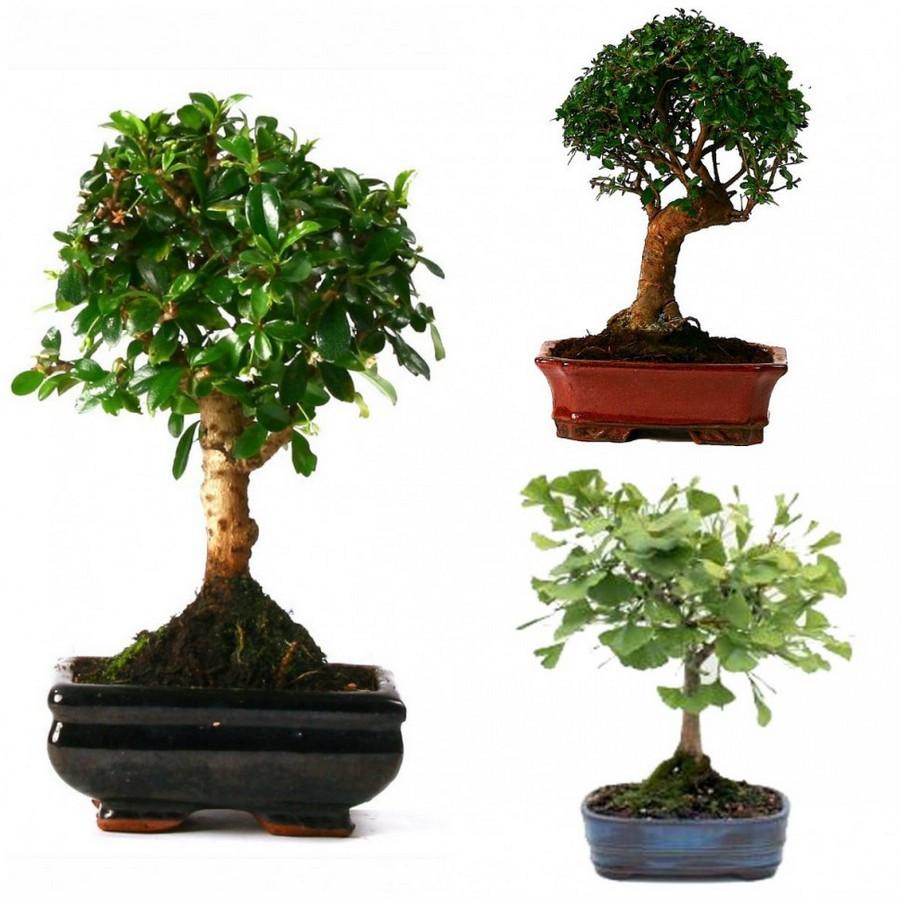 дерево бонсай виды фото самом