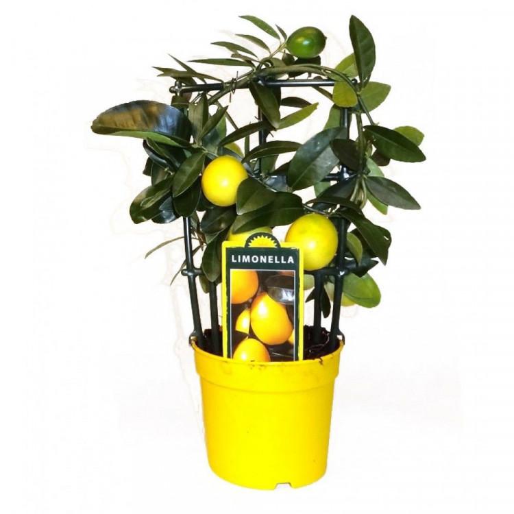 Букет роз, купить растения лимон