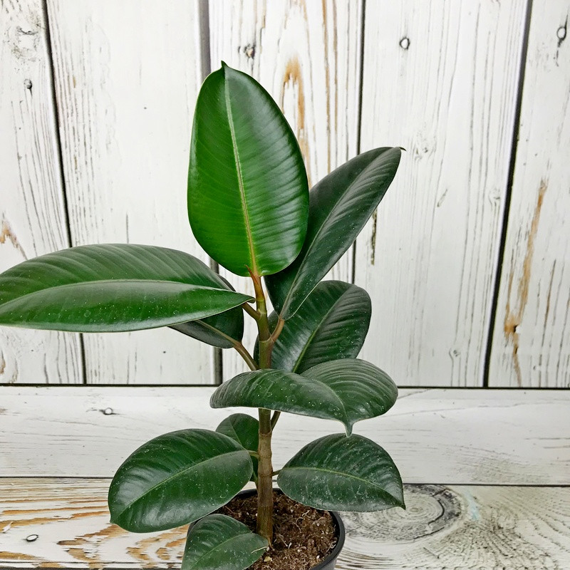 фикус мелани фото взрослого растения данным издания, следователи