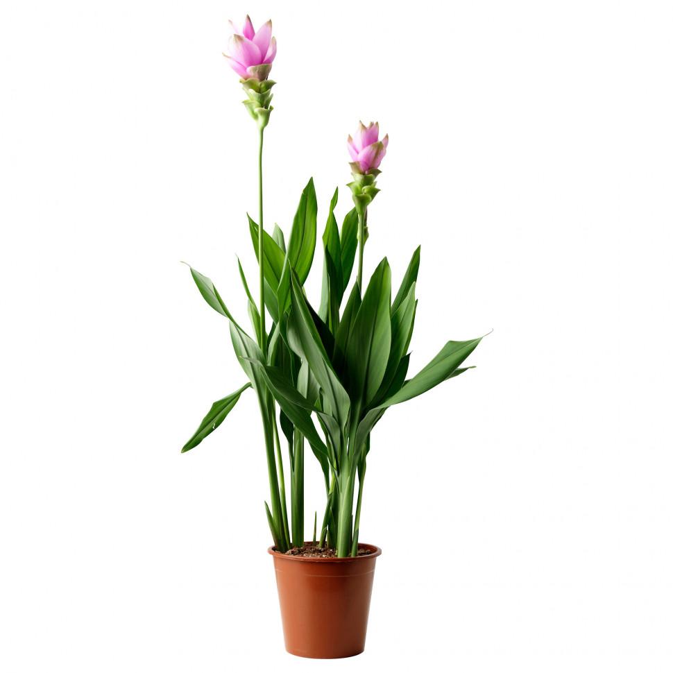 возник цветы куркума фото обратился