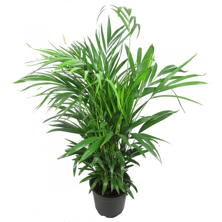 Зеленый комнатный цветок картинки