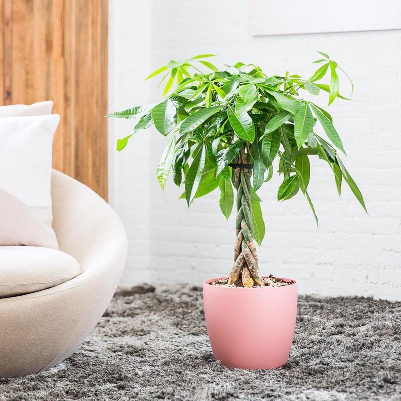 Цветок пахира акватика (водная) : фото и уход в домашних условиях